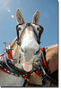 Mule Tongue Out Image